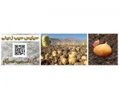 سیلیس کشت سیب زمینی