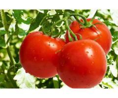 فروش ویژه پرلیت و ورمیکولیت گوجه فرنگی