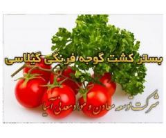 بستر کشت گوجه فرنگی گیلاسی